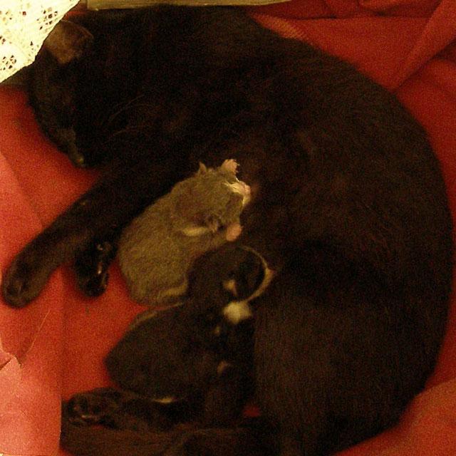 Новорожденные котята сосут маму